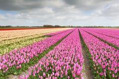 用不同的颜色的郁金香领域 库存照片