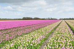 用不同的颜色的郁金香领域 库存图片