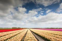 用不同的颜色的郁金香领域 免版税图库摄影