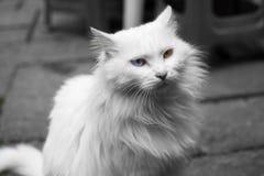用不同的颜色眼睛的猫 免版税图库摄影
