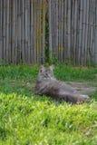 用不同的颜色眼睛的猫 免版税库存照片