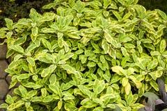 用于厨房的草本:贤哲Salvia officinalis aurea 图库摄影