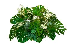 用于现代设计热带叶子叶子植物的妖怪叶子丛生植物布置被隔绝的自然背景 免版税库存照片