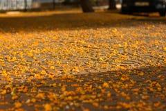 用五颜六色的黄色下落的花或公园的盖的路面城市走道,在阳光下发出光线 库存照片