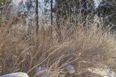 用冬天早晨太阳照亮的杨柳灌木盖 库存图片