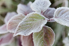 用冬天早晨,宏观自然背景霜盖的冻叶子  免版税库存照片