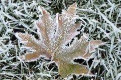 用冰晶盖的枫叶 免版税图库摄影