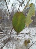 用冰晶盖的树的一片绿色叶子 冻结 霜 库存照片