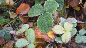 用冰晶盖的绿色草莓叶子 霜 免版税库存图片