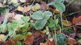 用冰晶盖的绿色草莓叶子 霜 库存图片