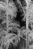 用冰盖的两棵冬天树 库存照片
