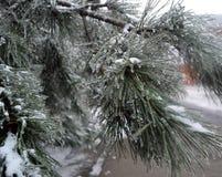 用冰盖的杉树 免版税库存图片