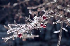 用冰盖的莓果,雪 免版税库存照片