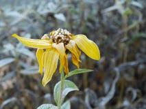 用冰盖的黄色花在秋天 图库摄影