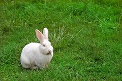用力嚼兔子白色的草 免版税库存照片