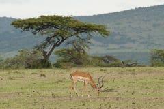 用力嚼在大草原的飞羚 库存图片