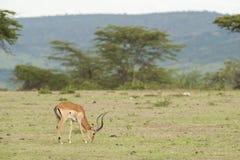 用力嚼在大草原的飞羚 免版税库存图片