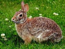 用力嚼在枝杈的逗人喜爱的兔子 免版税库存图片