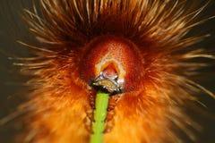 用力嚼在花茎的大长毛的蠕虫 库存图片