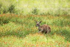 用力嚼在野花的红色袋鼠 免版税库存图片