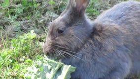 用力嚼在鲜绿色的无头甘蓝关闭的可爱的成熟灰色小兔  股票录像