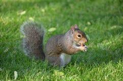 用力嚼在绿草的一枚坚果的灰鼠 库存照片