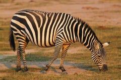用力嚼斑马-徒步旅行队肯尼亚 库存照片