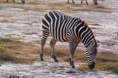 用力嚼斑马-徒步旅行队肯尼亚 库存图片
