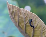 用力嚼柚木树叶子的一条黑毛虫 免版税库存照片
