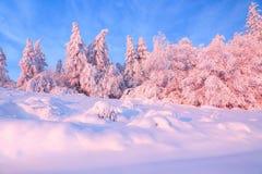 用厚实的雪层数盖的好的扭转的树在美好的冬日启迪玫瑰色的日落 库存照片