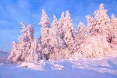 用厚实的雪层数盖的好的扭转的树在美好的冬日启迪玫瑰色的日落 免版税库存图片