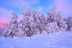 用厚实的雪层数盖的好的扭转的树在美好的冬日启迪玫瑰色的日落 免版税库存照片