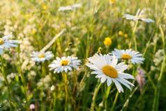 用在一个绿色草甸的露水盖的被日光照射了白色春黄菊 选择聚焦 图库摄影