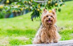用在他的头的一朵黄色花装饰的迷人的母狗 图库摄影