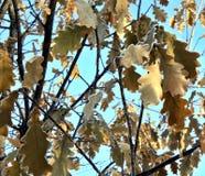 用在冬天太阳的树冰盖的橡木叶子 库存照片