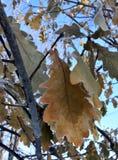 用在冬天太阳的树冰盖的橡木叶子 免版税库存图片