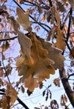 用在冬天太阳的树冰盖的橡木叶子 免版税库存照片