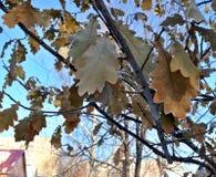 用在冬天太阳的树冰盖的橡木叶子 图库摄影