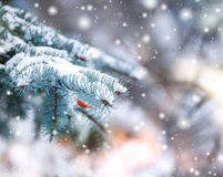 用在冷的冬天天气的雪盖 与冷杉木的圣诞节背景 免版税库存照片