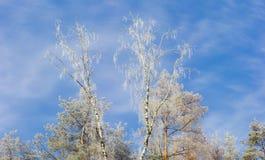 用在天空背景的霜报道的树上面  库存图片