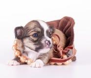 用在天鹅绒丝带的小珠装饰的逗人喜爱的奇瓦瓦狗婴孩 免版税库存图片