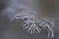 用在寒冷的霜报道的云杉的分支 库存照片