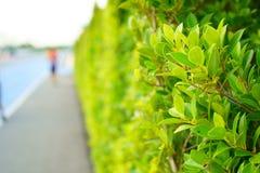 用在小巷上的植被盖的绿色叶子墙壁背景的 库存照片