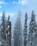 用在山坡的雪盖的巨型喜马拉雅杉树 免版税库存图片