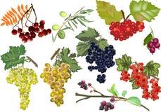 用在白色隔绝的不同的莓果的分支 免版税库存照片