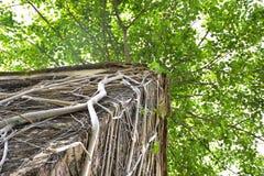 用在老损伤房子屋顶的根盖的榕树  免版税库存图片