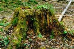 用在自然本底,野生生物,拷贝空间的概念的绿色青苔盖的腐烂的树桩 图库摄影