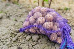 用在被犁的领域背景的土豆捕捉袋子  未来收获的最佳的成绩 免版税图库摄影