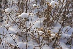 用在随风飘飞的雪的雪盖的干燥植物,狭窄的焦点区域 库存照片