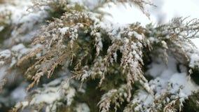 用在风的雪报道的冷杉分支在公园 股票录像